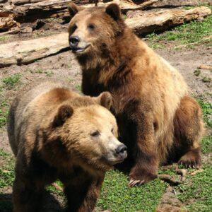 愛熊工程師開發人工智慧熊臉辨識,有助棕熊保育